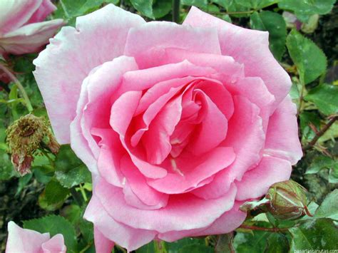 imagenes impresionantes de rosas im 225 genes de flores rosas imagui