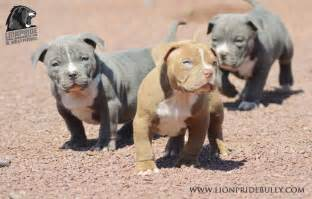 xl american bully puppies for sale chiot puppy puppies american bully xl bully pitbull a vendre for sale