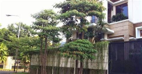 pohon pule  diburu oleh pecinta tanaman hias tips