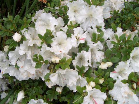 White Azalea plant guide rhododendron white gumpo white