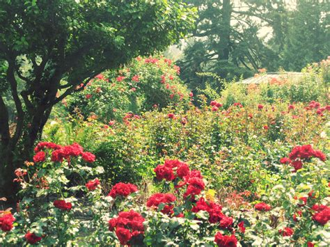 rose gardening a stroll in the rose garden