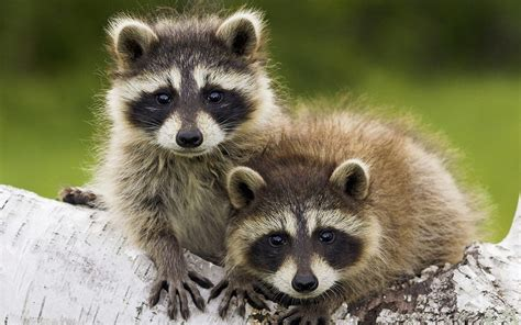 what to do if a raccoon is in your backyard 1000 images about raccoons on pinterest baby raccoon