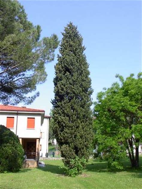 abete nano da giardino alberi da giardino e per parchi