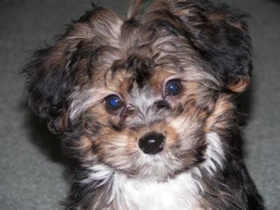 yorki maltese mix maltese yorkie puppies breeds picture