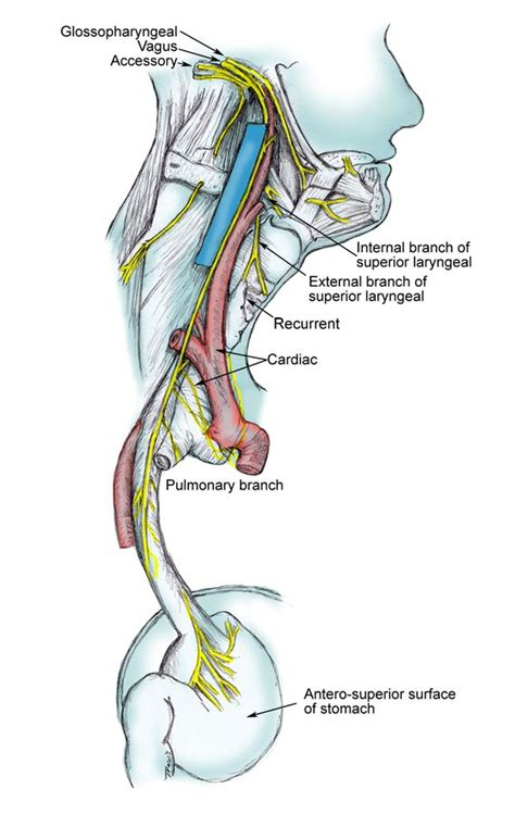 diagram of the vagus nerve 17 best images about anatomy on