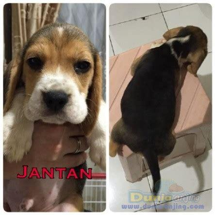 Jual Jual Beagle Puppies Kaskus dunia anjing jual anjing beagle jual anjing beagle