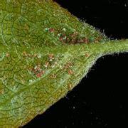 ragnetti sul terrazzo ragnetto rosso parassiti delle piante