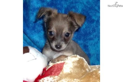 chihuahua puppies for sale in missouri chihuahua puppy for sale near southeast missouri missouri b38830c1 a531