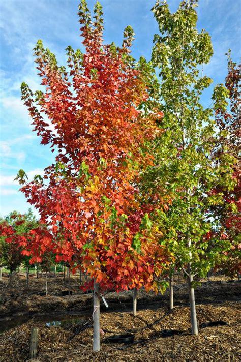 maple tree in early maple october creekside tree nursery