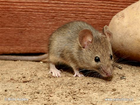 house mouse house mouse photos house mouse images nature wildlife pictures naturephoto