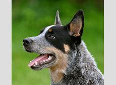 Australian Cattle Dog - História, características e ... Bentley For Sale In Texas