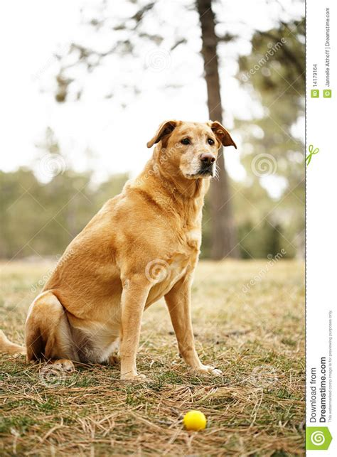 golden retriever outside golden retriever with stock images image 14179164