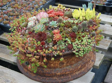 Succulent Gardens by How To Grow And Care For Container Succulents World Of Succulents
