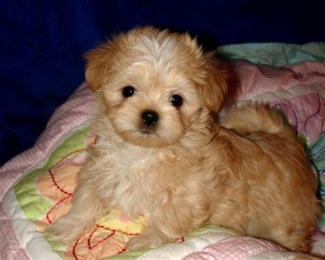 miki breed mi ki breed facts amie mi kis puppy information