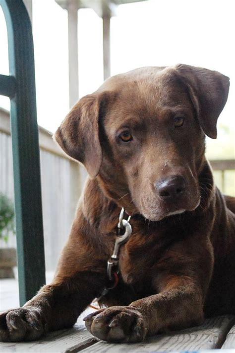 brown lab puppies labrador retriever petsync