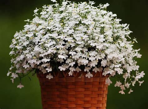 lobelia fiore lobelia lobelia erinus piante annuali decorare con