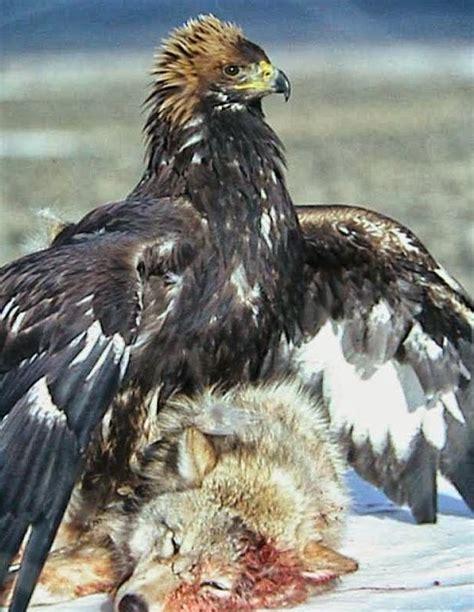 stephen bodios querencia eagle  deer