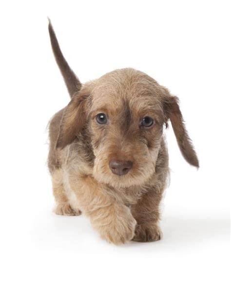 miniature haired dachshund puppies wire haired dachshund puppies quotes
