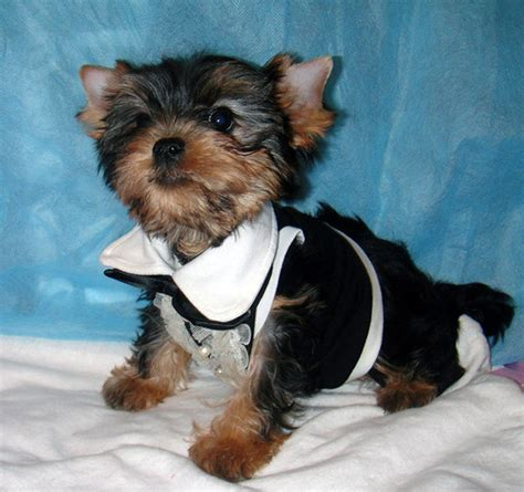 yorkie clothes and accessories teacup yorkie sweaters