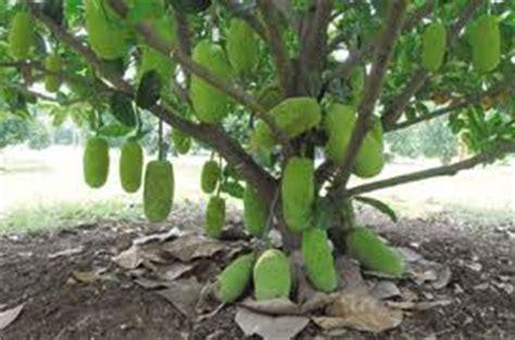 Bibit Durian Merah Madu buah nangkadak perpaduan nangka dan cempedak