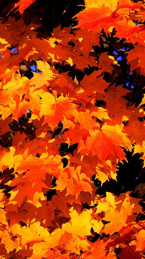 wallpaper iphone leaves 2016 autumn leaves 06 iphone 7 wallpaper hd iphone 7