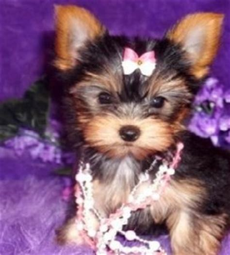 cheap teacup yorkie breeders cheap teacup yorkie puppies for adoption miami fl asnclassifieds