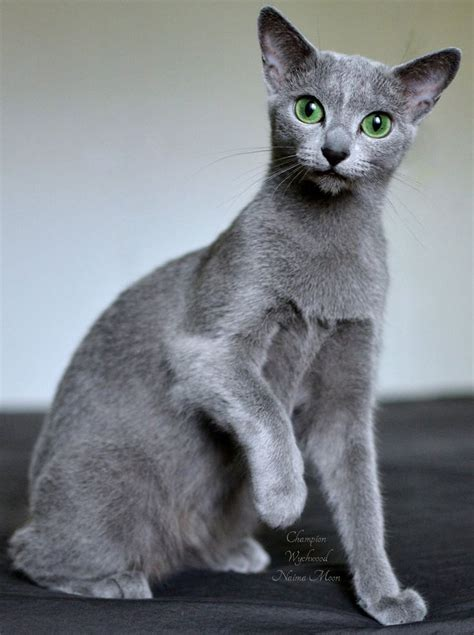 Blue Cat For wychwood russian blue cat naima moon our beautiful