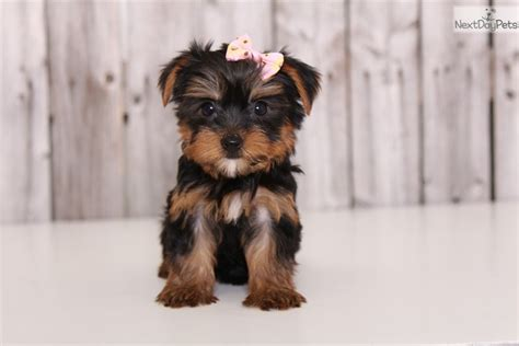 yorkie for sale in chicago yorkie poo puppies for sale near chicago yorkie poo puppies364 to breeds picture