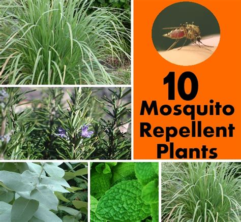 10 mosquito repellent plants diy home things