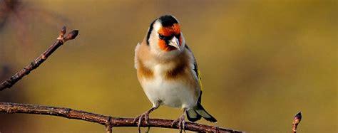 allevare cardellini in gabbia cardellino carduelis carduelis foto animali volanti