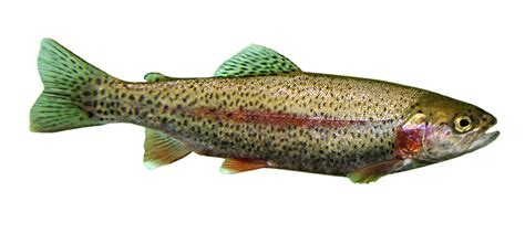 rainbow trout aquaponics wiki
