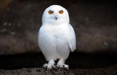 snowy owl xamobox blogspot com relax