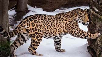 Jaguar Be The Meaning And Symbolism Of The Word 171 Jaguar 187