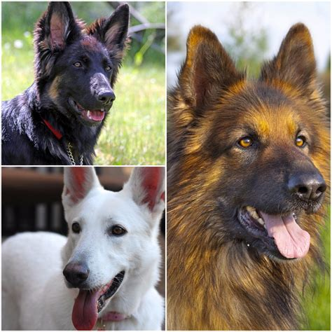 types of german shepherds how many different types of german shepherds are there