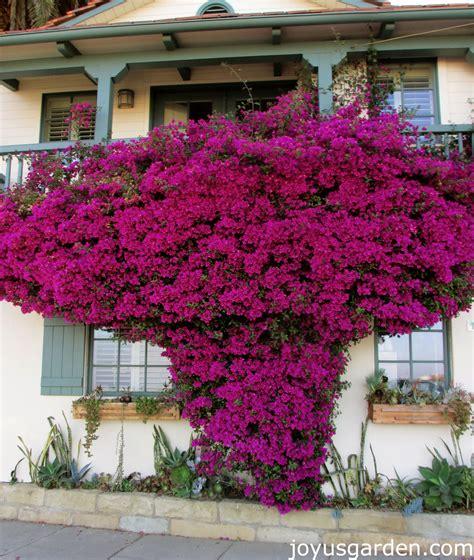bougainvillea talk   splash  color flores