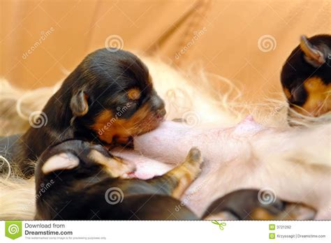 what to feed newborn puppies newborn puppies feeding stock photography image 3721292