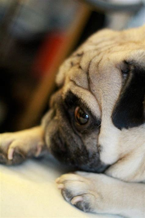monday pug about pug pugs pugs pug stories all pugs