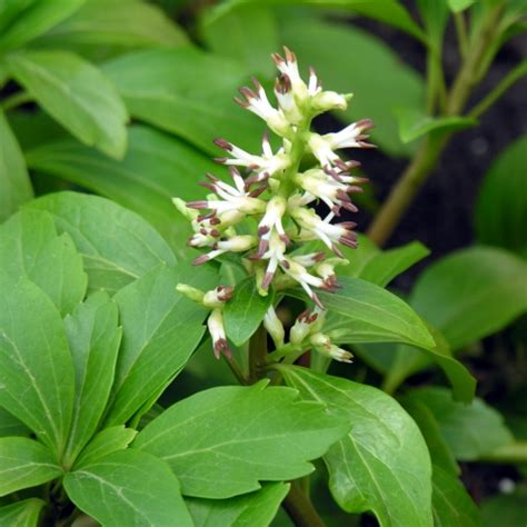 Flowering Evergreen Shrubs Full Sun - pachysandra terminalis green carpet telegraph garden shop