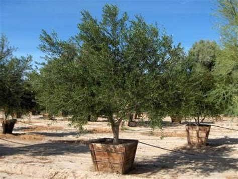 fruitless olive tree olea europea wilsonii trees for the landscape pinterest trees