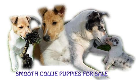 smooth collie puppies for sale smooth collie breeders breeds picture
