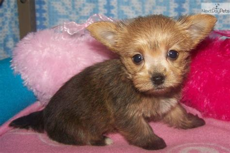 yorkie puppies for sale in charleston sc terrier yorkie puppy for sale near charleston south carolina 30112c0a 95a1