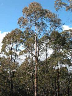Airwalk Edward Grey centurion australia s tallest tree in the huon valley of