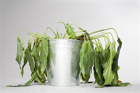 indoor plant dying how to save dying herb plants