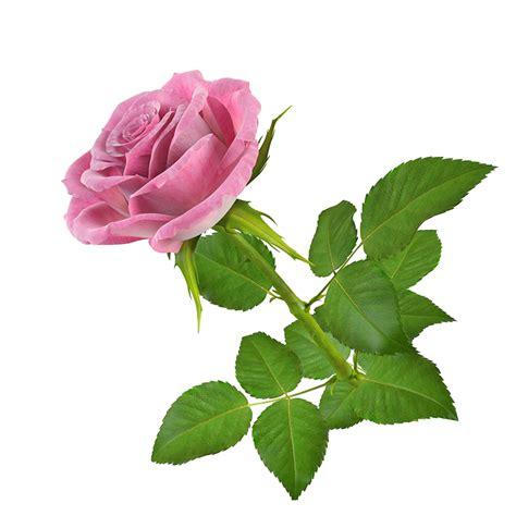 Banco De Im 193 Genes Las Fotos M 225 S Hermosas De Rosas De | imgenes de flores en alta resolucin descargar imagenes de