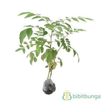 tanaman daun kari salam koja bibitbunga