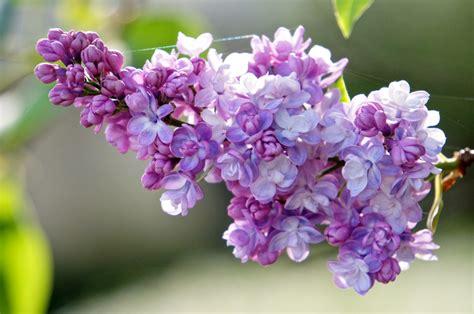 purple lilac lilac palace puddle wonderful