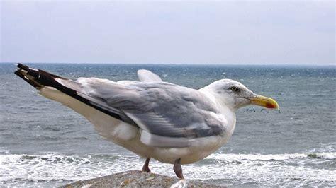 gabbiano uccello foto gratis uccello piuma gabbiano mare acqua becco