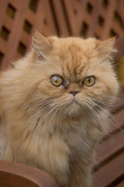 gatto persiani gatto persiano rosso tutte le caratteristiche dogalize