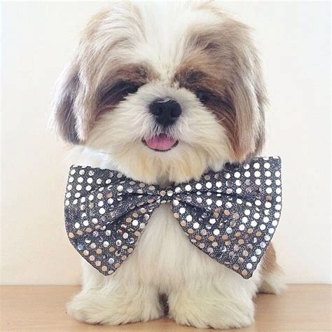 shih tzu habits top 8 health benefits from owning a shih tzu shih tzu daily