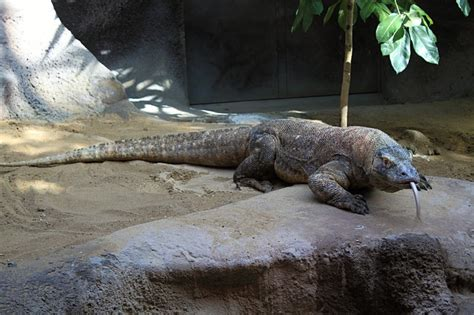 Free photo: Komodo Dragon, Lizard, Reptile   Free Image on Pixabay   237805